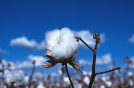 cotton_boll_blue_sky
