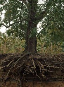 Exposed_mango_tree_roots